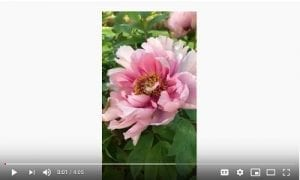 Learn to Paint Peonies in France